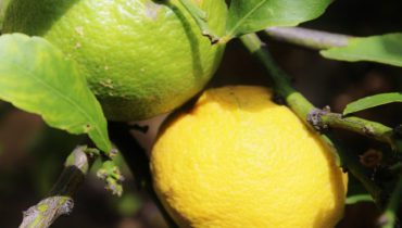 how to grow a meyer lemon tree in a pot