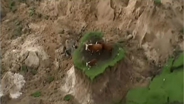 Cows Stranded On Island During Earthquake In New Zealand