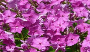 The valerian plant helps you to get a better nights sleep